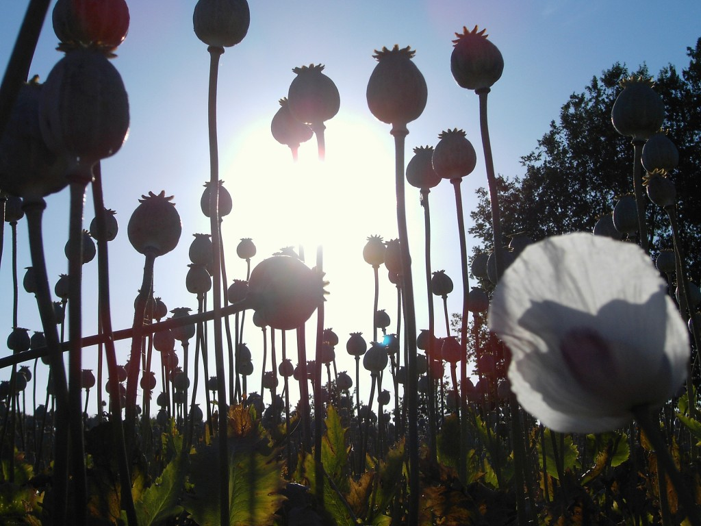 Heroin Poppy Flowers